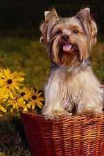 574082 Yorkshire Terrier LaCie A4 papier photo