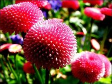 Bellis perennis 'Pomponette Red' x 50 seeds