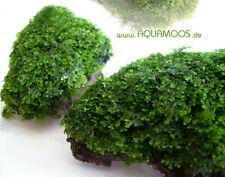 Riccardia chamedryfolia  Mini-Pellia  Korallenmoos  beste Qualität