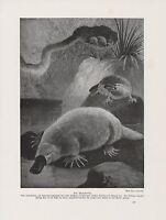 Echter Rotdorn Crataegus laevigata Farbdruck von 1958 Hagedorn