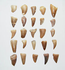 Mosasaur Dinosaur Tooth  LOT OF 25 Pieces Fossils Teeth 85 Mill Yr Old #534 6o