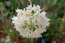 Orchid plants Neobenthamia Gracillis Tanzania species