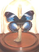 Hypolimnas salmacis Butterfly Dome