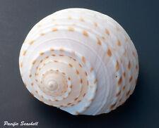 Spotted (Tonna Tessalata) Tun Seashell- Large (5 inches) Ocean Seashell