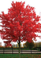 October Glory Red Maple - Established Shade Tree  - 1 Plant in a 2 Gallon Pot