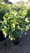 Magnolia Susan 120-130 cm rote Blüten Magnolie Tulpenmagnolie Magnolienbaum