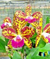 Cattleya Orchid ~ Blc. Sunspots 'Exotic Orchids' x Laelia flavasulina