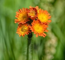 25 Orange Hawkweed Wildflower seeds ~ Organic ~ Pilosella aurantiaca