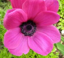 Rosea Anemone Windflowers 15 Bulbs - 8/+ cm