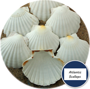 Real White Scallop Shells SET OF 6 Atlantic Scallops 10cm Washed Trimmed
