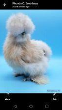 Silkie chicken hatching eggs Blue Cream npip 6 plus 🥚