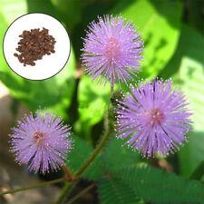 100pcs Mimosa Pudica Bashfulgrass Grass SeedsSensitive Plant Flower Seed