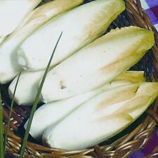 Kings Seeds - Chicory Brussels Witloof - 700 Seeds