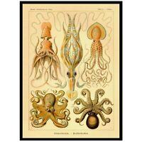 OCTOPUS (Gamochonia) circa 1899. Antique Illustration Reprint, Linen Backed.