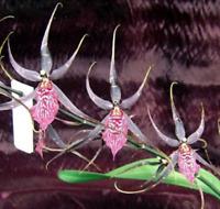 Charming Wilhelmara Pinot Princess oncidium orchid blooming size