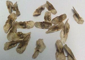 TREE ALOE (Aloe barberae) 100 fresh seeds