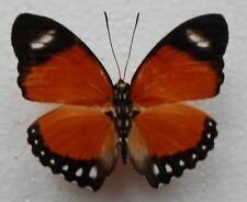 Euphaedra.sp Fixed.Cameroon
