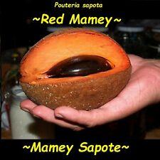 ~Mamey Sapote~ Pouteria sapota Magana Live sml potd plant