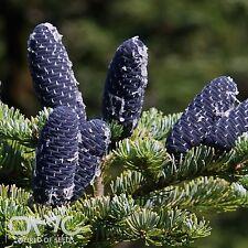 Manchurian sapins (Abies Nephrolepis) 25 + Graines supplémentaire (# 495)