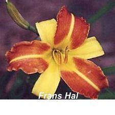 """Daylily Frans Hall 24"""" (3 Fan Bare Root) Hemerocallis Free Ship"""