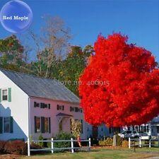 20 Pcs BELLFARM Autumn Blaze Red Maple Tree seed,HOME DIY Decorative Plant TM