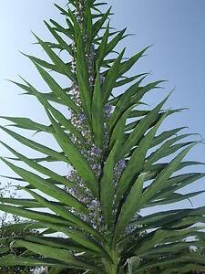 Echium  Pininana Blue  Steeple 30 Seeds Plus