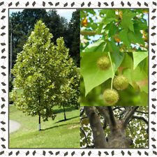 Platanus acerifolia - London Planetree (100+ viable seeds per package)