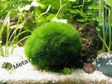 2 boules d'algue et 5 tiges ceratophyllum demersum  Plantes D'Aquarium