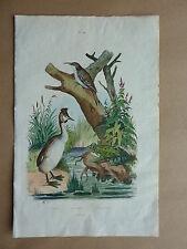 ++ Gravure couleurs XIXe * Grèbe, Grenouille, Grimpereau * Antique print