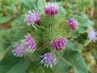 Grosse Klette - Arctium lappa - Greater Burdock - 10+ Samen - Saatgut - Seeds