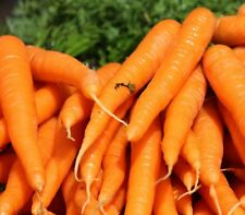 Carrot All Seasons 150 heirloom seeds for your edible vegetable garden