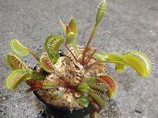3 small Pinnacle Giant Venus Flytraps (Fly Trap Carnivorous Plants) Dionaea
