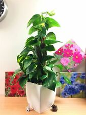 1 Evergreen Golden Pothos Devil's Ivy House Office Plant Gloss White Milano Pot