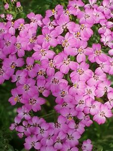 Achillea Lilac Beauty- 2 litre pot- Good for bees & butterflies