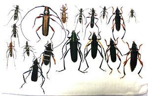 Cerambycidae.  17 x Cerambycidae species. West Kalimantan (13)
