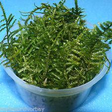 2000 ml Javamoos,Taxiphyllum barbieri autrefois Vesicularia dubyana,Java Mousse
