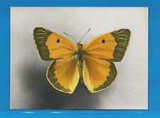 Carte Publicitaire Papillons Colias croccus Europe