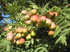 SORB TREE - Sorbus Domestica SEEDS -  30 seeds