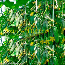 100 pcs cucumber seeds japanese mini cucumber vegetable seeds organic NO-GMO see