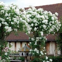 100PCS White Climbing Rose Seeds Rosa Multiflora Perennial Fragrant Flower