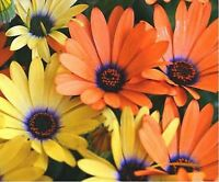 African Daisy -Mixed- 100 Seeds- BOGO 50% off SALE