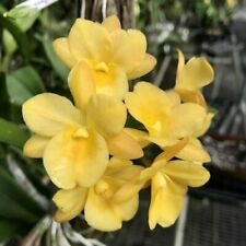 Ctna. Why Not Gold x self. Cattleya Orchid Plant