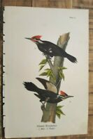 Nice Colored Bird Lithograph Plate - Pileated Woodpecker - Plate #70 - 1890