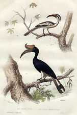Old bird print Neushoornvogel Bucerotidae Hornbill 1856 antique