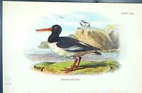 Antique Old Print Oyster-Catcher 1896 Lloyd Sharpe Birds Great Britain Wyman