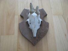 Rehgeweih mit Fell und Gehörnbrettchen aus Holz P25