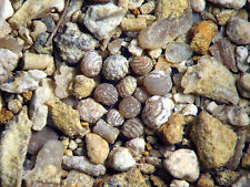 Devonian Cerro Gorda Shale microfossil sample has rare early CHAROPHYTES new!