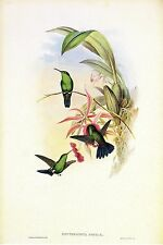 "1990 Vintage HUMMINGBIRD #322 ""SOPHIA'S ERYTHRONOTE"" GOULD Art Lithograph"
