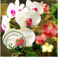 Seeds Orchid White Phalaenopsis Bonsai Flowers Pots Plants Home Garden 100 Pcs