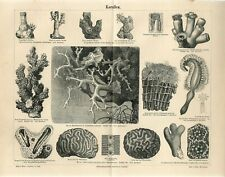 1885 MARINE SEA CORALS PRECIOUS CORAL Antique Engraving Print